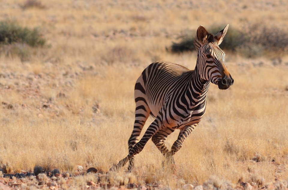 zebra-2452733_960_720